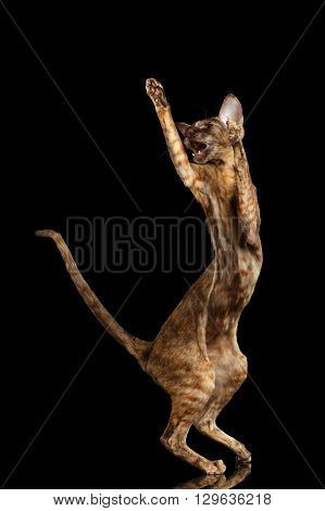 Playful Brown Oriental Cat Standing on rear legs capture and raised up paws Black Isolated Background