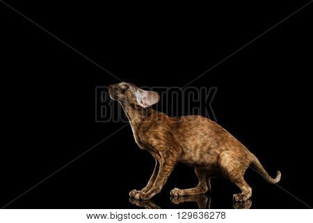 Playful Brown Oriental Cat With Extremal Big Ears crouched and Looking up Black Isolated Background
