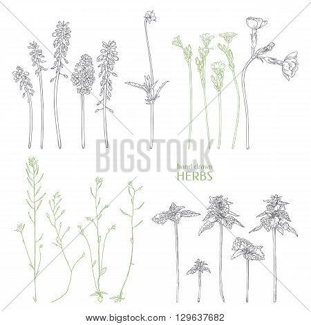 Hand drawn herbs. Ink graphic. Vector wildflower.