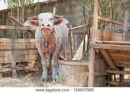 on an farm there albino buffalo in Thailand