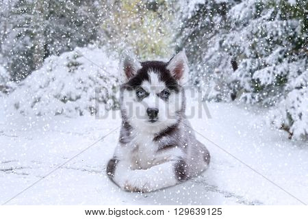 Picture of a little husky dog lying on the snow at winter day and staring on the camera
