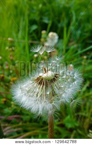 Flowering dandelion, dandelion seed and green grass