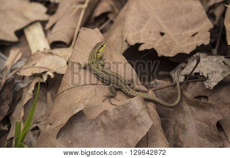 Lucertola al sole che cammina sulle foglie secche