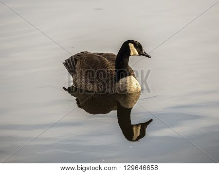 Canada gooseBranta canadensis is a goose with a black head and neck white patches on the face and a brown body