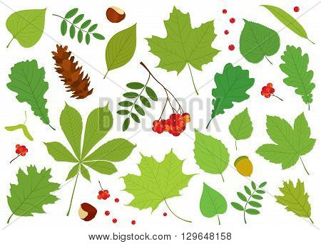 Vector set of different, colorful, isolated tree leaves, Rowan berries, acorn, chestnuts and pine cone on white background.