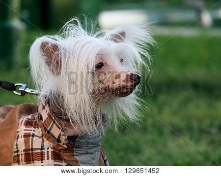 Portrait of a funny dog. The dog luxury hair. Breed Chinese Crested dogs. Park, summer. The dog checkered suit. White, beautiful hair