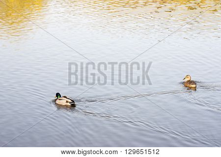 Pair of mallards swimming on a lake.
