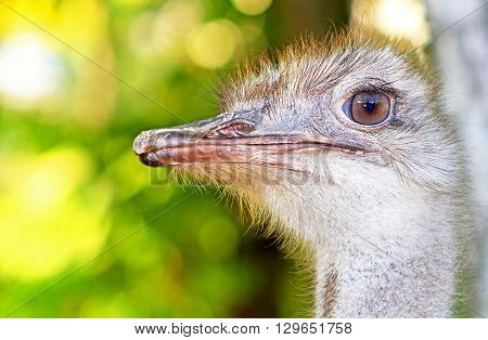 Ostrich head closeup. The ostrich or common ostrich (Struthio camelus) is either one or two species of large flightless birds native to Africa