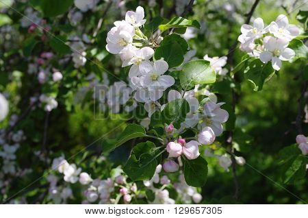 Spring flowering apple trees in sunny day