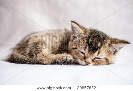 small pretty kitten British golden chinchilla ticked sweetly sleeps on a white plaid