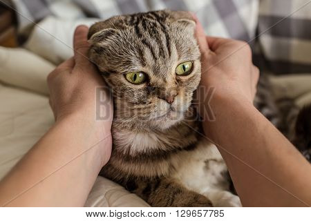A person stroking hands and gently hugging surprised cat Scottish Fold