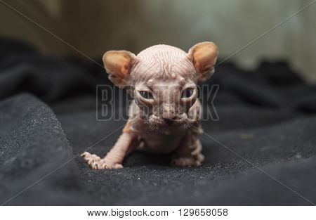 little bald sphinx kitten makes first timid steps in the black blanket