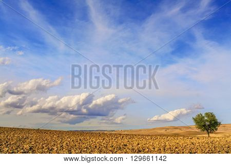 Between Apulia and Basilicata:lonely tree on plowed soil,Italy.Hilly landscape with rural farms: lone tree in a plowed field dominated by clouds.