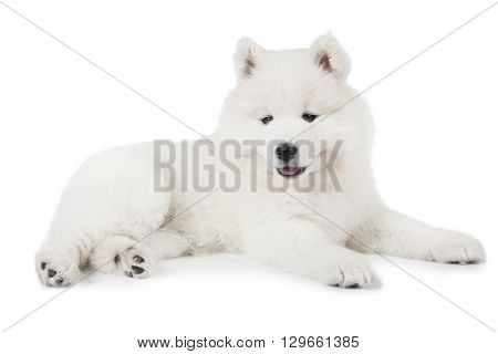 Seven weeks old Samoyed puppy dog lying in front of white background and looking forward