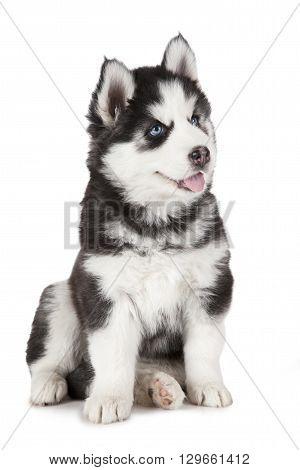 Purebred Siberian Husky puppy dog isolated on white background