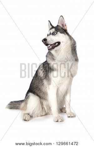 Purebred Siberian Husky dog sitting in front of white background and looking to the side