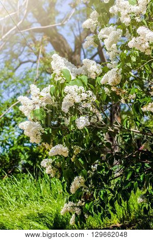 The bush of white lilac, the scent of spring, delicate flowers