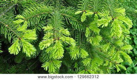Beautiful green yew twig in spring outdoor