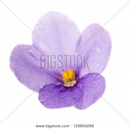 Macro single violet flower with dew drops isolated on white background