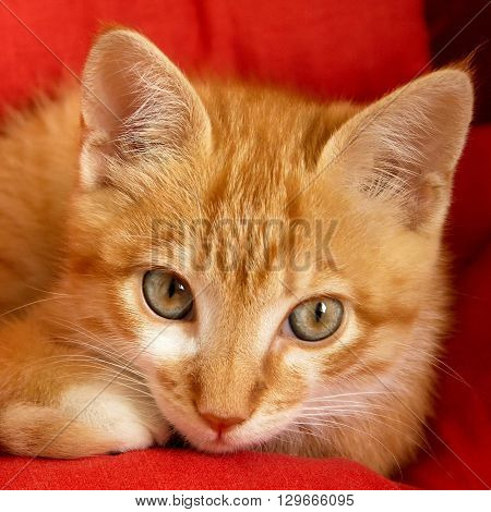 Beautiful red hired kitten on red background