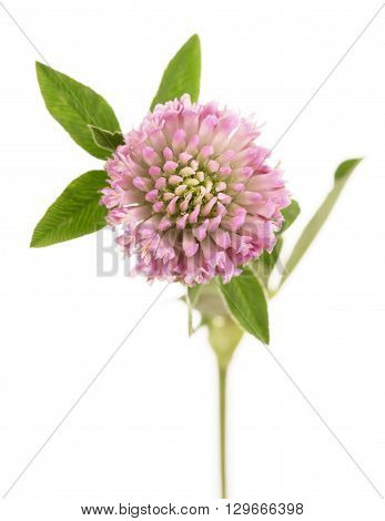 Macro. Clover or trefoil flower medicinal herbs isolated on white background