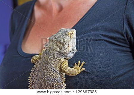 Woman with neck is holding Agama lizard on her chest.