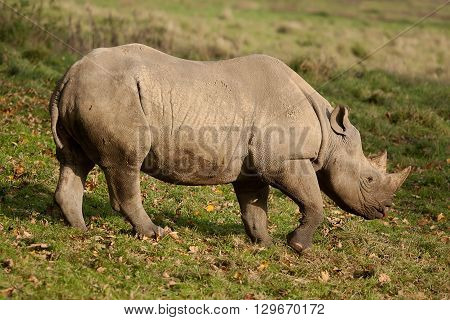 Adult Black Rhino walking in sun shine