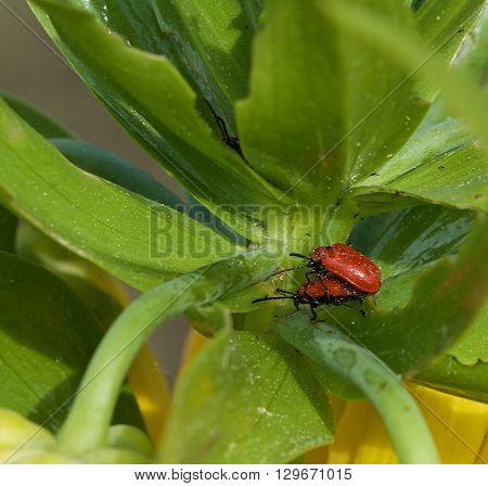 2 red bedbugs in grenn blurry natural background on spring time, vivid nature