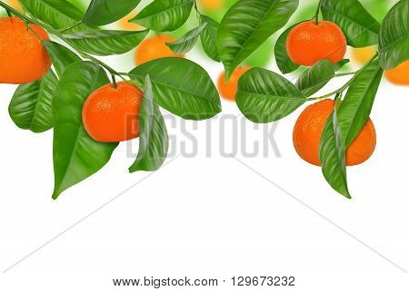 Mandarines hanging on a mandarine tree on white background.