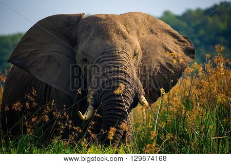 Elephant close up with ears out on African Safari