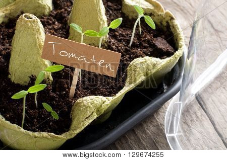 Tomato seedlings with lettering Tomaten (german for tomatoes)