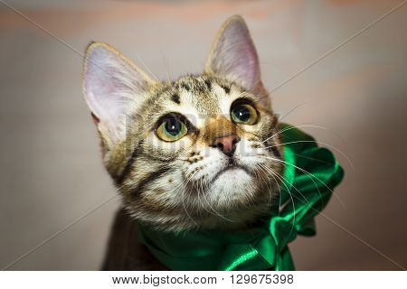 Kitten-teenager with a green bow on the neck looks questioningly. Non-pedigreed cat tiger coloring. Portrait.