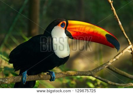 Tropical bird Toucan is sitting on the branch of tree. Jungles of South America. Ramphastos toco.