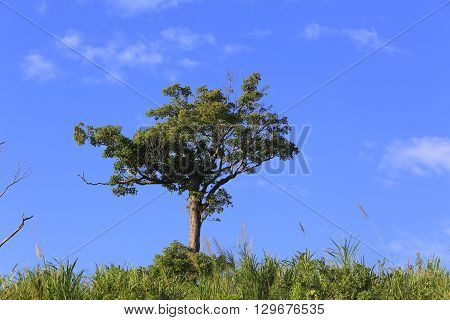Alone tree in grass field & blue sky