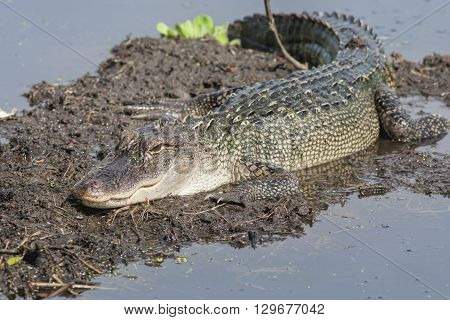closeup image of an alligator resting on mud bank.