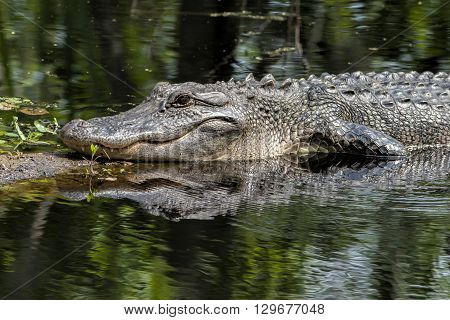 Close up image of an alligator resting on a log.