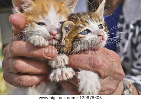 old woman holds her kittens - close up of two beautiful cats with blue eyes