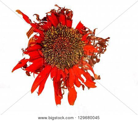 Beautiful Yellow dahlia withered flower with petals ready to fall Isolated on a white background