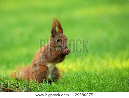 Red Squirrel (Sciurus vulgaris) sitting on the grass and eats sunflower seeds. The view from the right side. Spring in Poland May. CloseHorizontal view.