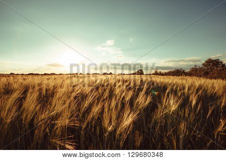 Wheat field over sky with sundown. Nature landscape