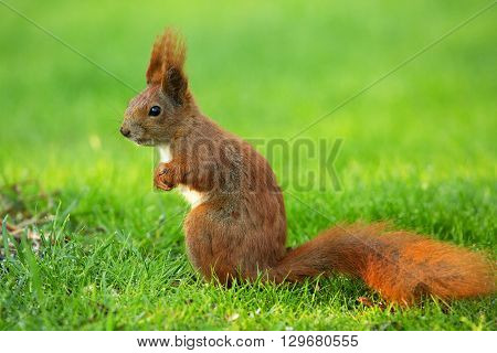 Red Squirrel (Sciurus vulgaris) sitands upright on thre green grass and looking right. Clearly visible white belly raised ears a mustache and black eyes. Poland Spring May. Close horizontal view