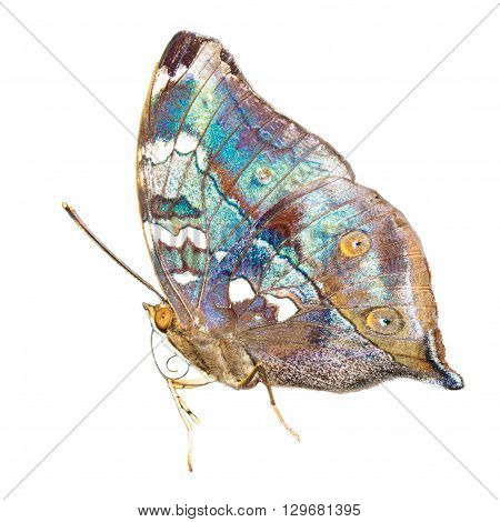 Tropical blue and black - butterfly isolated on white background