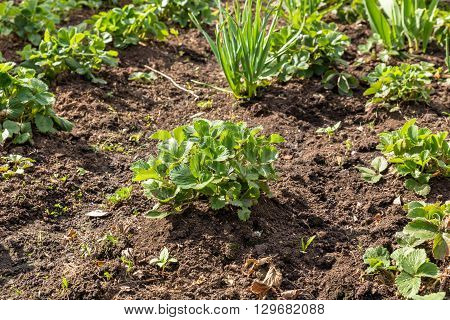 bushes of strawberries in the garden in spring