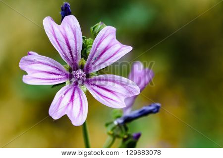 Mallow in the foreground with nice background in green color
