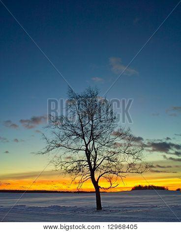 birch tree silhouette at sunrise