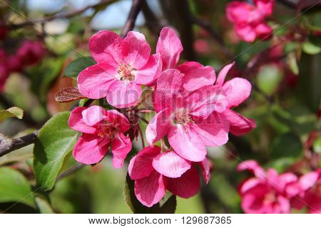 Red-pink plum flowers blossoms on the tree background