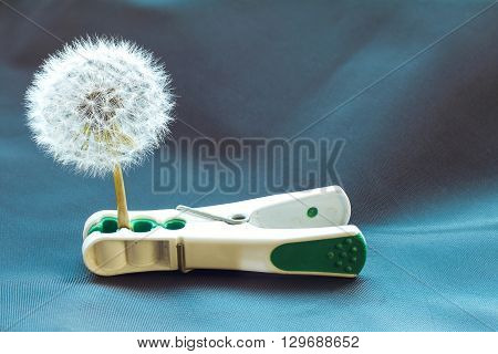 White dandelion flower trapped in clothes pin on blue background