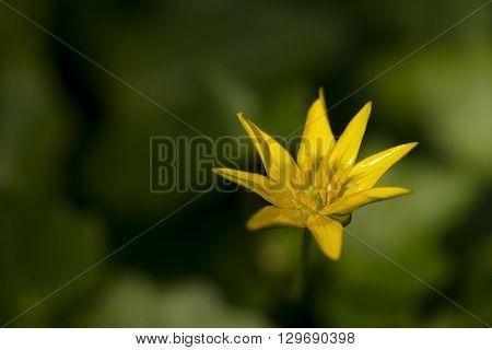 One flower of Lesser Celandine (Ranunculus ficaria) flowering in a nature garden