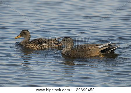 Two Gadwall's (Anas strepera) swimming in water