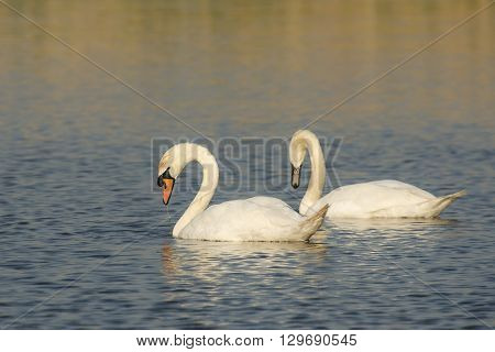 Two Mute Swans (Cygnus olor) foraging in water